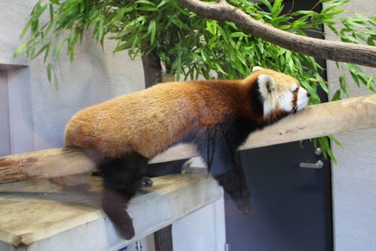 やる気のまったくないレッサーパンダの画像